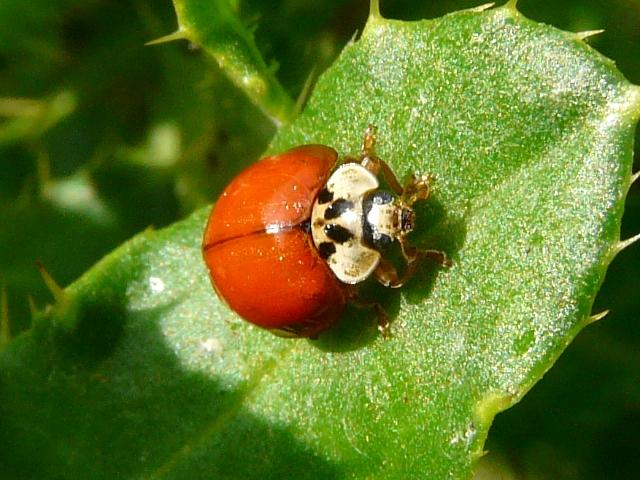 Asian Ladybug Beetles 9