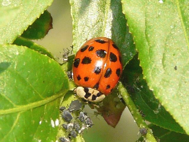 Asian Ladybug Beetles 67