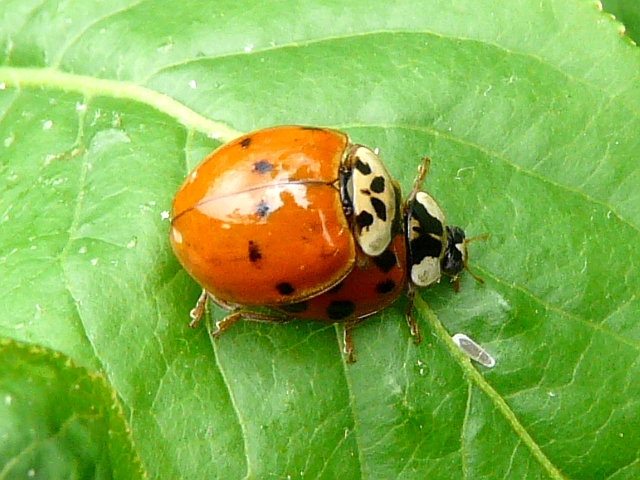 Asian Ladybug Beetles 121