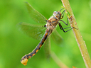 Spiny Baskettail (female)