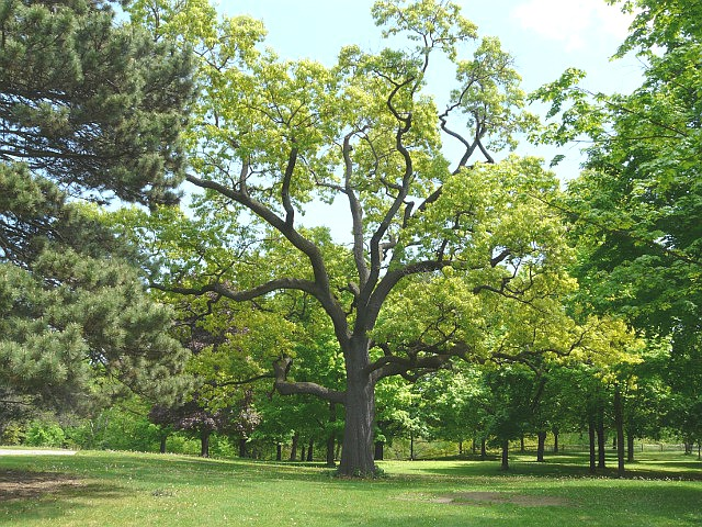Black Oak Tree ~ Toronto wildlife beech family