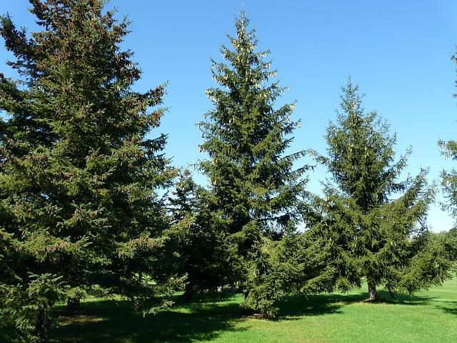http://www.toronto-wildlife.com/Trees/Pine_family/Spruce_Norway/spruce_norway_2sh30_092713_640x480.JPG