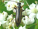 More A. lineola Beetles