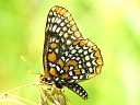 More Baltimore Checkerspot