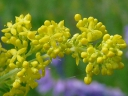More Yellow Bedstraw