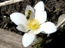 More Bloodroot