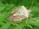 More Brown Stink Bugs