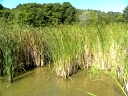 More Narrow-leaved Cattail