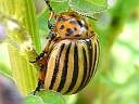 More Colorado Potato Beetles