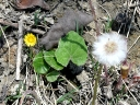 More Coltsfoot