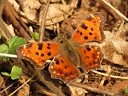 More Eastern Comma Butterflies