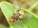 Thick-headed Flies