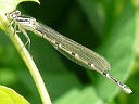 More Bluet Damselflies