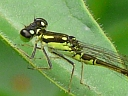 More Fragile Forktail Damselflies