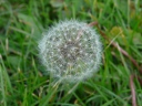 More Common Dandelion