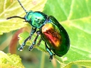 More Dogbane Leaf Beetles