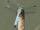 More Blue Dasher Dragonflies