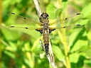 More 4-spotted Skimmers