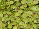 More Common Duckweed