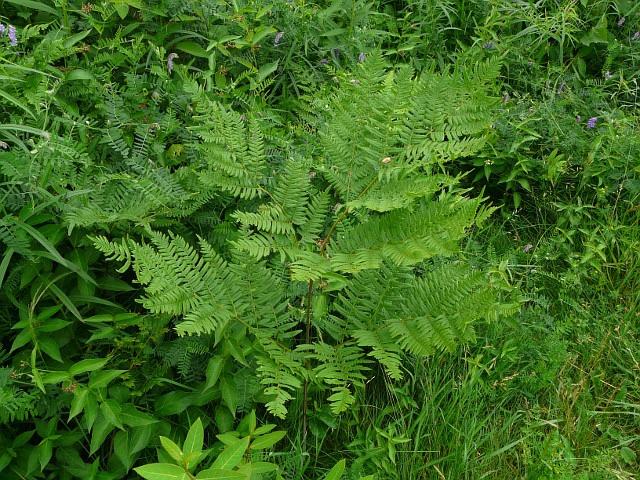 how to kill bracken fern