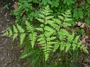 More Bracken Fern