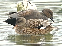 More Gadwall Ducks