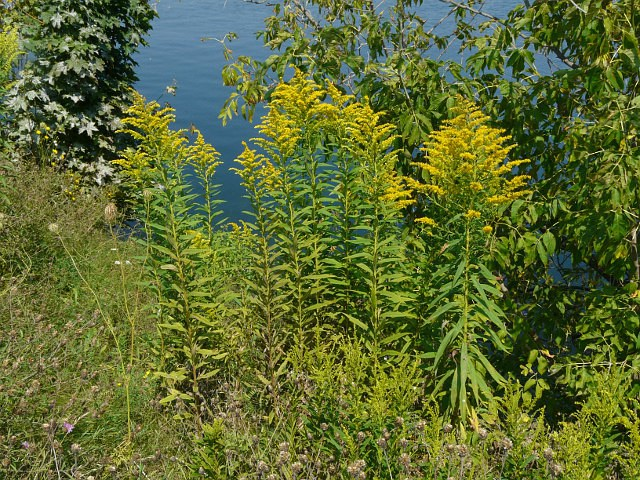 an analysis of the herb goldenrod in canada Arches of chrysanthemum fireworks, that would be canada goldenrod   companionship between asters and goldenrod was never mentioned, but i  i  felt like a malnourished refugee invited to a feast, the dishes scented with the  herbs of.