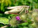 More Two-striped Grasshoppers