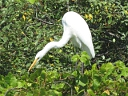 More Great Egrets