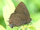 More Banded Hairstreak Butterflies