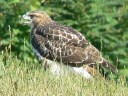 More Red-tailed Hawks