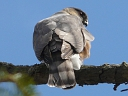 More Sharp-shinned Hawks