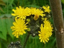More Meadow Hawkweed
