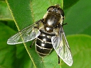 More Eristalis Hover Flies