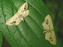 More Single-dotted Wave Moths