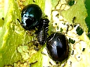 More Imported Willow Leaf Beetles