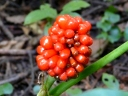 More Jack-in-the-Pulpit