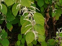 More Japanese Knotweed