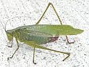 More Fork-tailed Bush Katydids