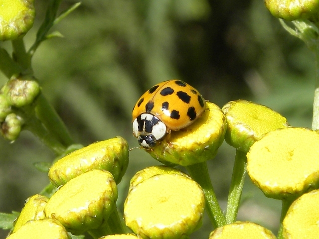 Asian ladybug video