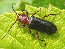 More Phymatodes amoenus Beetles