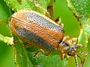 More Loosestrife Leaf Beetles