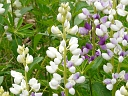 More Wild Lupine