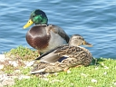 More Mallard Ducks