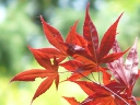 More Japanese Maple