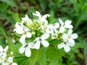 More Garlic Mustard