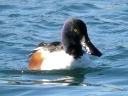 More Northern Shoveler Ducks