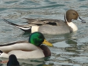 More Northern Pintail Ducks