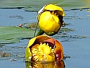More Yellow Pond-lily