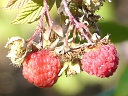 More Red Raspberry